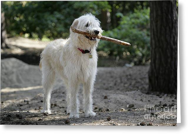 Labradoodle Greeting Cards - Labradoodle Holding Stick Greeting Card by John Daniels