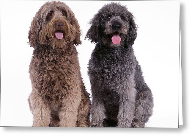 Mixed Labrador Retriever Greeting Cards - Labradoodles Greeting Card by John Daniels