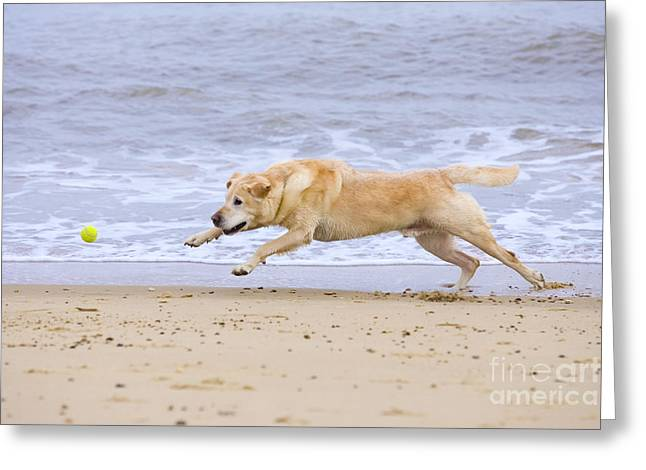 Dog Playing Ball Greeting Cards - Labrador Dog Chasing Ball On Beach Greeting Card by Geoff du Feu