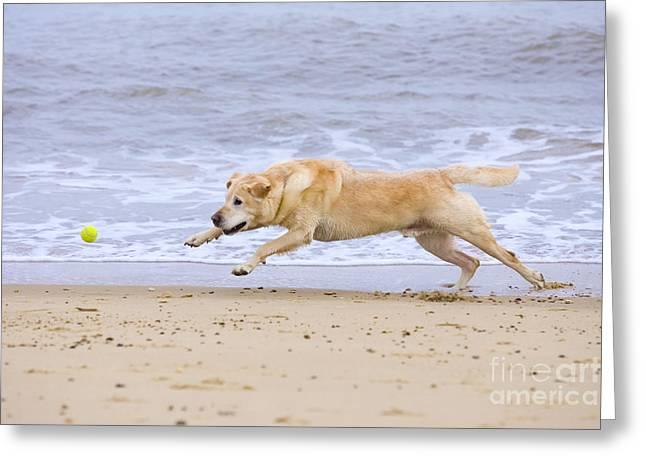 Labrador Dog Chasing Ball On Beach Greeting Card by Geoff du Feu