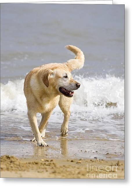 Happy Labradors Greeting Cards - Labrador Dog Playing On Beach Greeting Card by Geoff du Feu