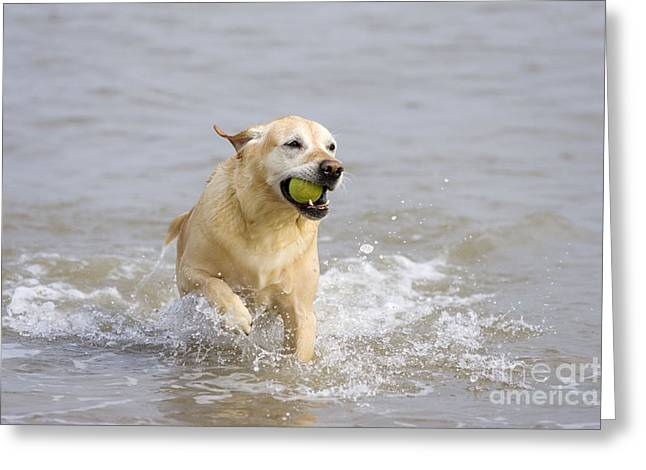 Labrador-mix Retrieving Ball Greeting Card by Geoff du Feu