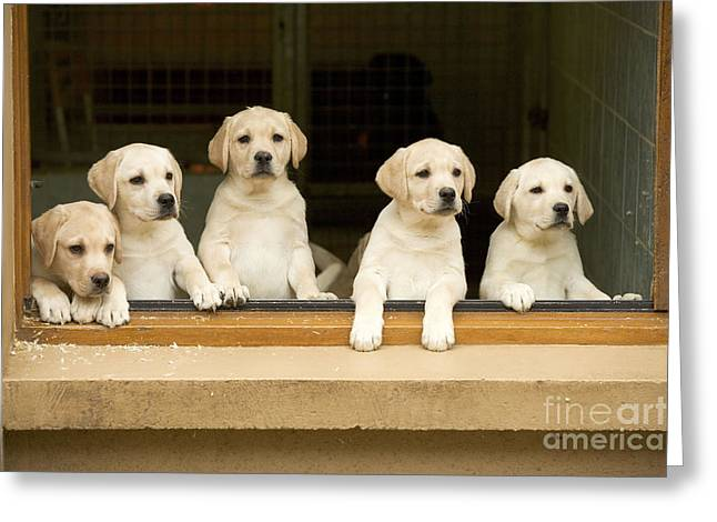 Young Labrador Retrievers Greeting Cards - Labrador Puppies At Window Greeting Card by Jean-Michel Labat