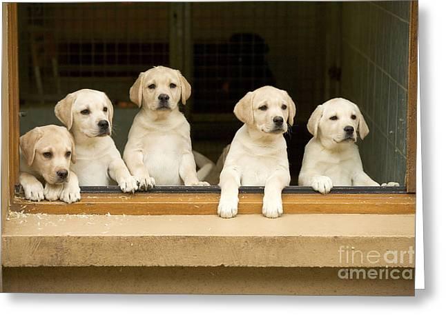 Labrador Puppies At Window Greeting Card by Jean-Michel Labat