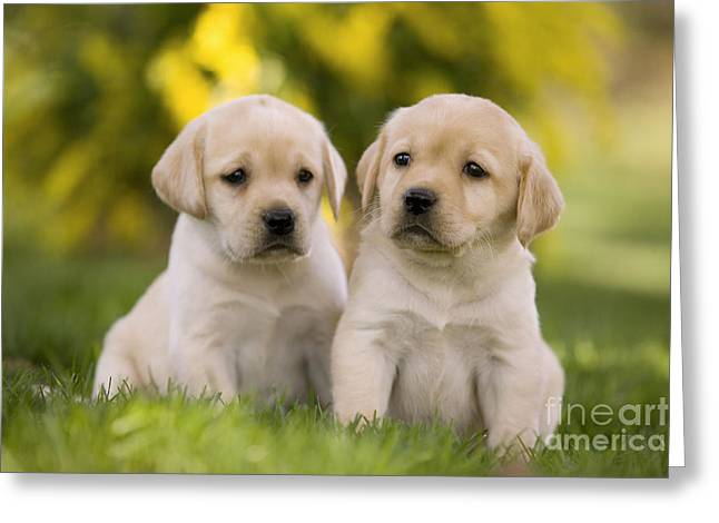 Young Labrador Retrievers Greeting Cards - Labrador Puppies Greeting Card by Jean-Michel Labat