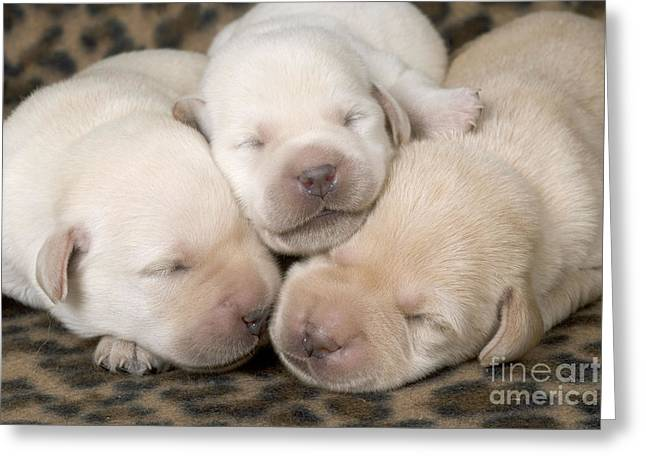 Controlling Development Greeting Cards - Labrador Puppy Dogs Greeting Card by Jean-Michel Labat