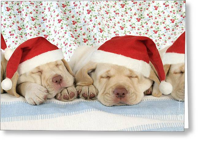 Old Labrador Greeting Cards - Labrador Puppy Dogs Wearing Christmas Greeting Card by John Daniels
