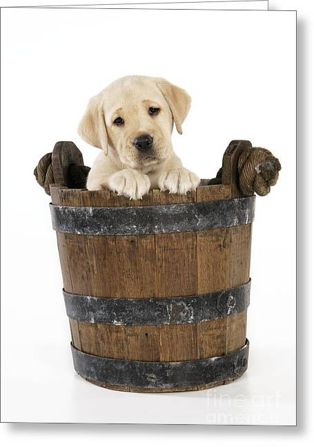 Old Labrador Greeting Cards - Labrador Puppy In Bucket Greeting Card by John Daniels