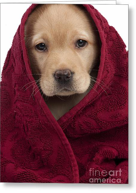 Pet Care Greeting Cards - Labrador Puppy In Towel Greeting Card by Jean-Michel Labat