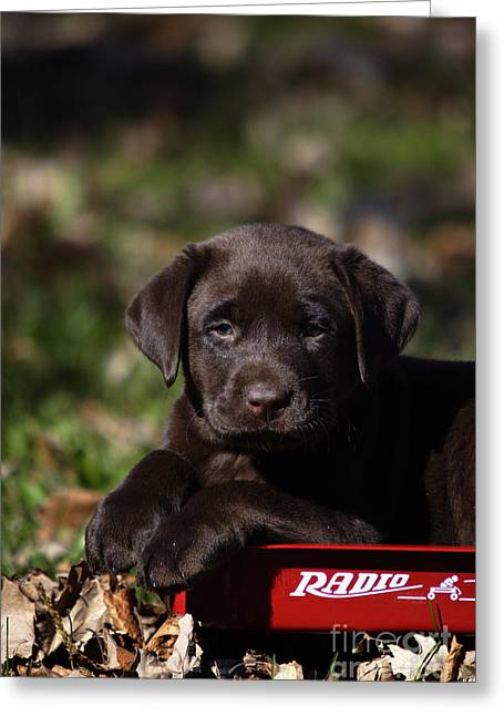 Radio Flyer Wagon Greeting Cards - Labrador Puppy Greeting Card by Linda Freshwaters Arndt