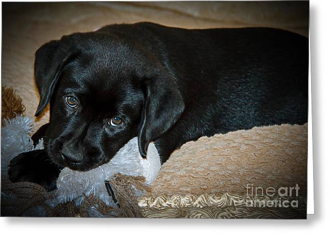 Chocolate Lab Greeting Cards - Labrador Puppy Greeting Card by Robert Bales