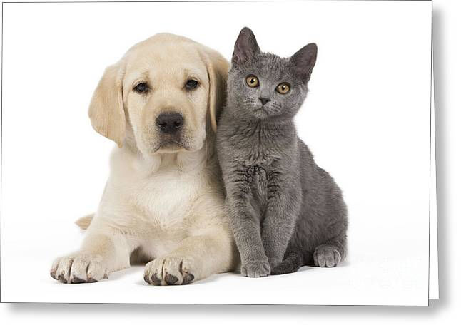 Labrador Puppy With Chartreux Kitten Greeting Card by Jean-Michel Labat