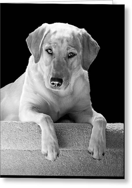 Sporting Dog Greeting Cards - Labrador Retriever Dog Black and White Greeting Card by Jennie Marie Schell