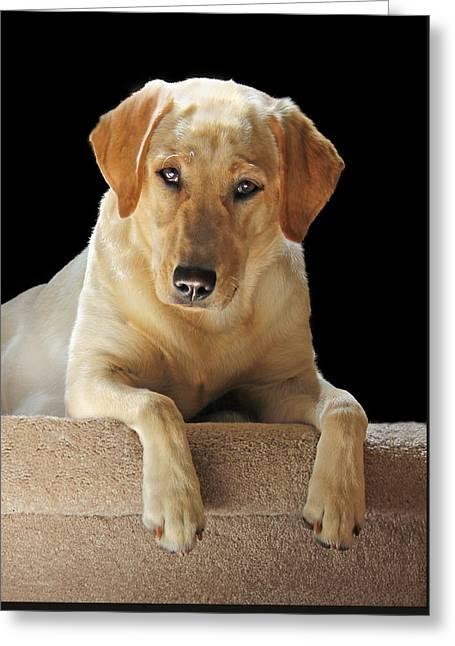 Sporting Dog Greeting Cards - Labrador Retriever Dog Portrait Greeting Card by Jennie Marie Schell