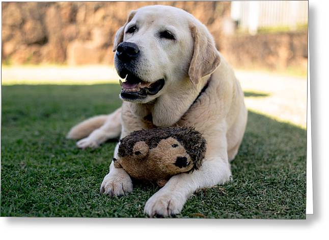 Cute Labradors Greeting Cards - Labrador Retriever Greeting Card by Justin Matoi