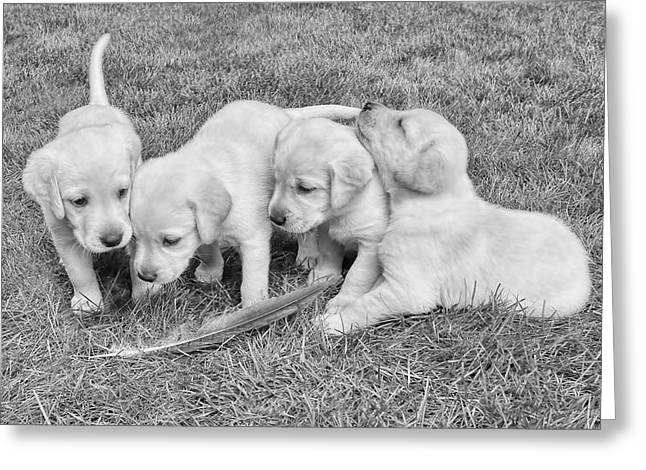 Puppies Photographs Greeting Cards - Labrador Retriever Puppies and Feather Black and White Greeting Card by Jennie Marie Schell