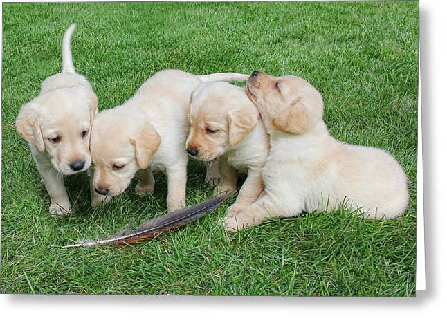 Puppies Photographs Greeting Cards - Labrador Retriever Puppies and Feather Greeting Card by Jennie Marie Schell