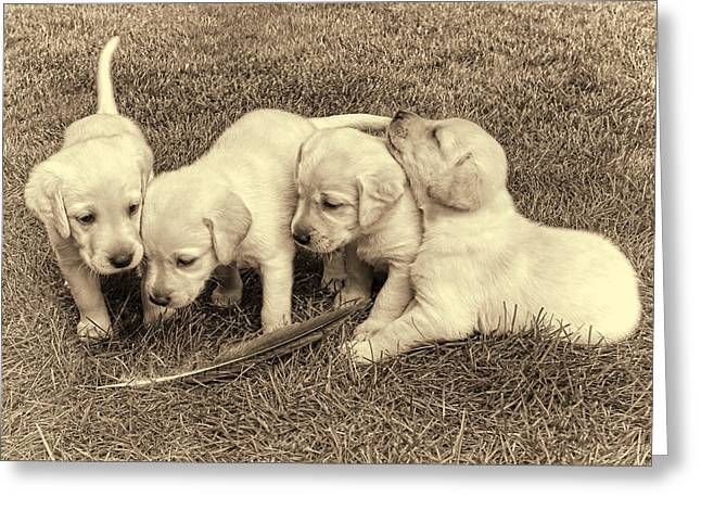 Puppies Photographs Greeting Cards - Labrador Retriever Puppies and Feather Vintage Greeting Card by Jennie Marie Schell