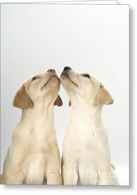 Old Labrador Greeting Cards - Labrador Retriever Puppies Greeting Card by John Daniels