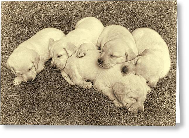 Sleeping Puppies Greeting Cards - Labrador Retriever Puppies Nap Time Vintage Greeting Card by Jennie Marie Schell
