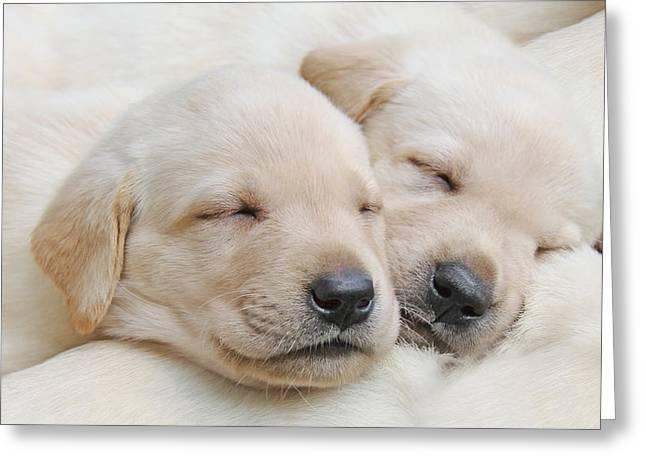 Sleeping Puppies Greeting Cards - Labrador Retriever Puppies Sleeping  Greeting Card by Jennie Marie Schell