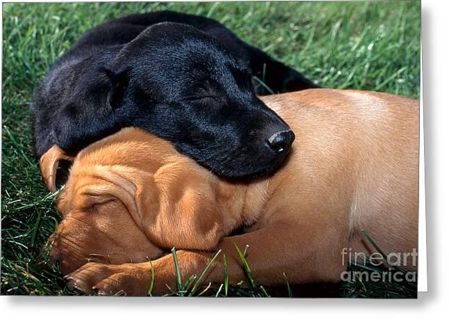 Sleeping Baby Animal Greeting Cards - Labrador Retriever Puppies Sleeping Greeting Card by William H. Mullins