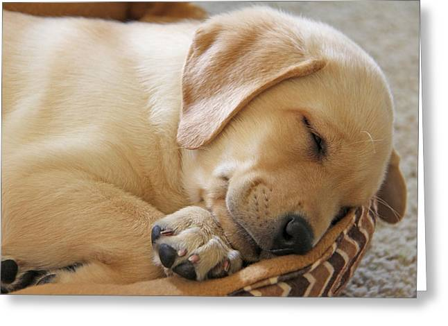Sleeping Puppies Greeting Cards - Labrador Retriever Puppy Nap Time Greeting Card by Jennie Marie Schell