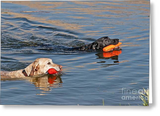 Wet Dogs Greeting Cards - Labrador Retrievers In Pond Greeting Card by William H. Mullins