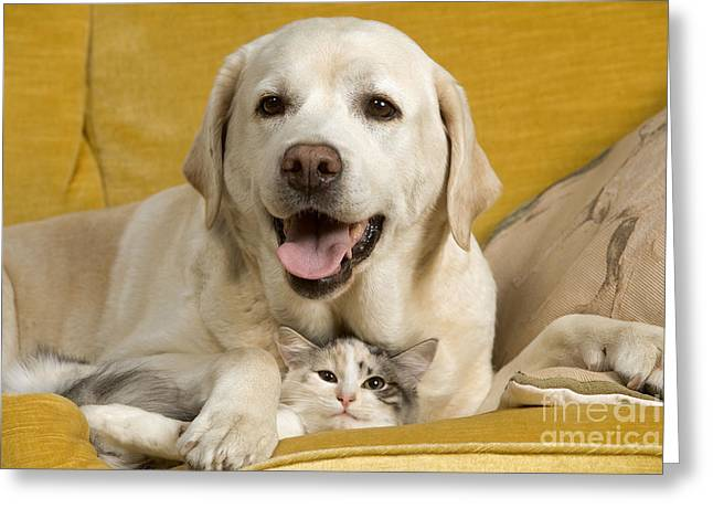 Labrador With Cat Greeting Card by Jean-Michel Labat