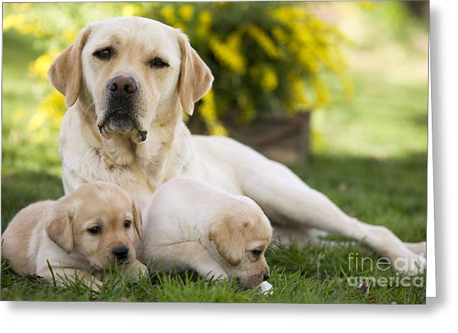 Young Labrador Retrievers Greeting Cards - Labrador With Two Puppies Greeting Card by Jean-Michel Labat