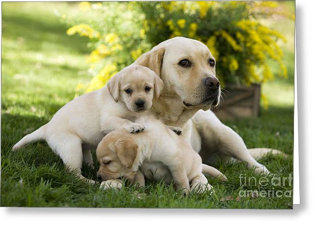 Young Labrador Retrievers Greeting Cards - Labrador With Young Puppies Greeting Card by Jean-Michel Labat