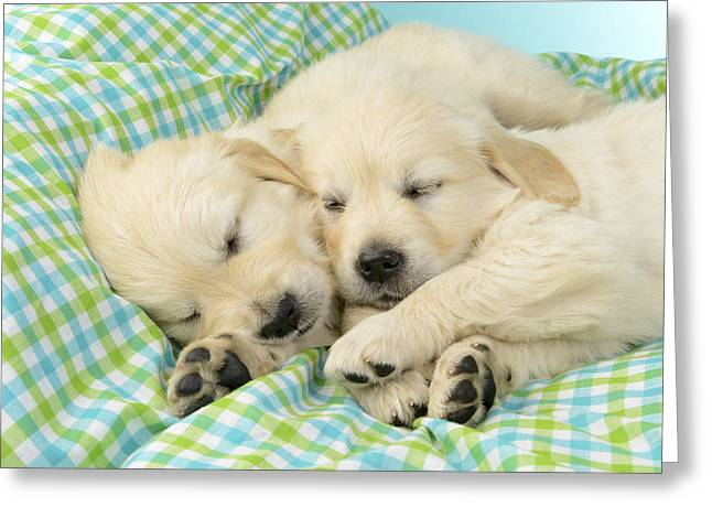 Puppies Greeting Cards - Labs Sleeping On A Blanket Greeting Card by Greg Cuddiford