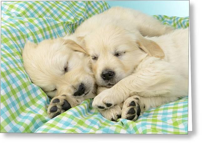 Labs Sleeping On A Blanket Greeting Card by Greg Cuddiford