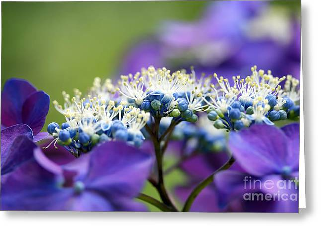 Lacecap Greeting Cards - Lacecap Hydrangea Macro Greeting Card by Sharon  Talson