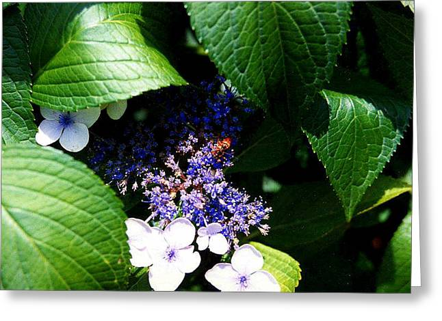 Lacecap Greeting Cards - Lacecap Hydrangea Greeting Card by Stephen Proper Gredler