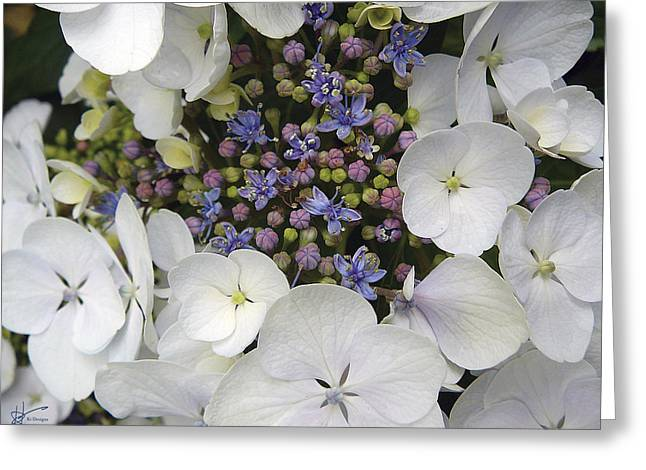 Pinks And Purple Petals Greeting Cards - Lacetop Hydrangeas Greeting Card by Karen Hasegawa