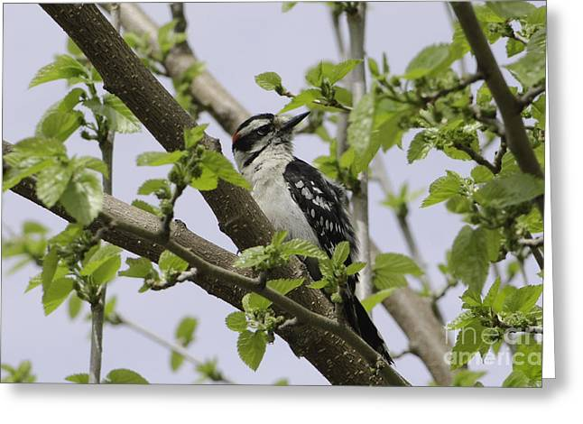 Ladderback Greeting Cards - Ladderback Woodpecker Greeting Card by Michelle Horsman