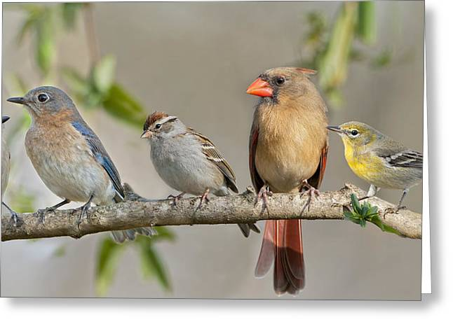 Female Northern Cardinal Greeting Cards - Ladies Auxiliary Greeting Card by Bonnie Barry