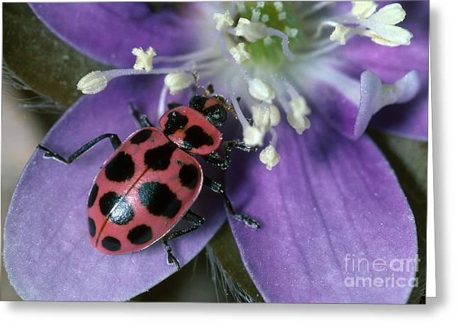 Lady Beetle Eating Pollen On Hepatica Greeting Card by Larry West