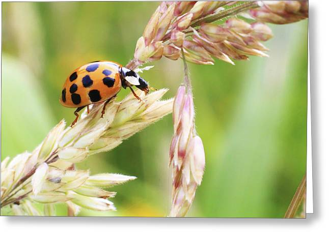 Andrew Pacheco Greeting Cards - Lady Bug on a Warm Summer Day Greeting Card by Andrew Pacheco