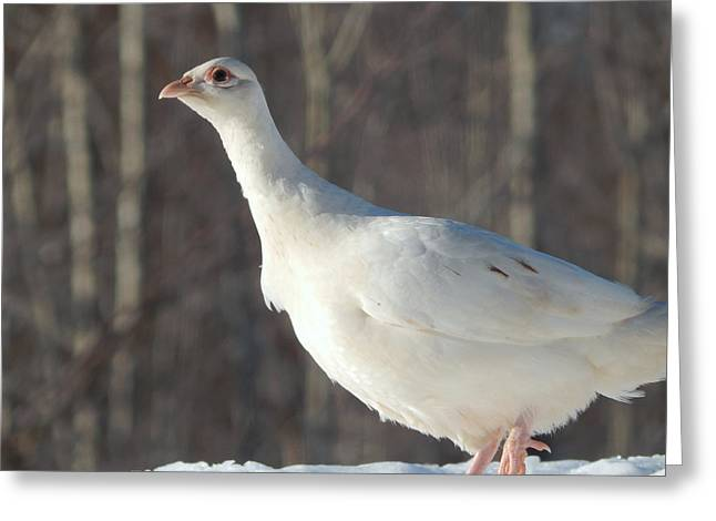 Wintry Greeting Cards - Lady in white Greeting Card by Karen Cook