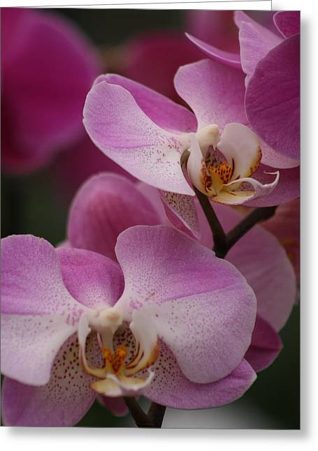Close Up Floral Pyrography Greeting Cards - Lady Pink Orchid Greeting Card by Valia Bradshaw