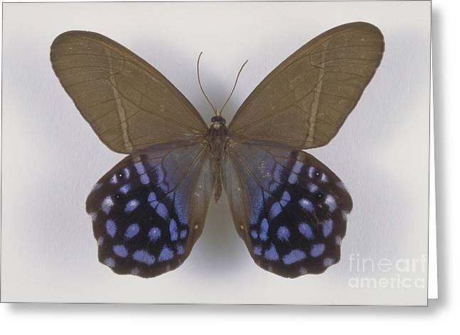 Lena Greeting Cards - Lady Slipper Butterfly Greeting Card by Barbara Strnadova