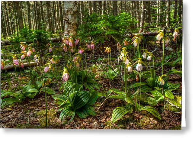 Recently Sold -  - Princes Greeting Cards - Lady Slipper Orchids Greeting Card by Matt Dobson