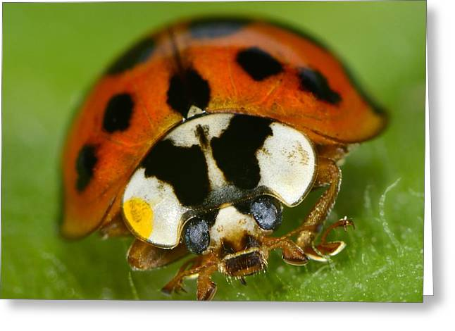 Invertebrates Greeting Cards - Lady Greeting Card by Tony Beck