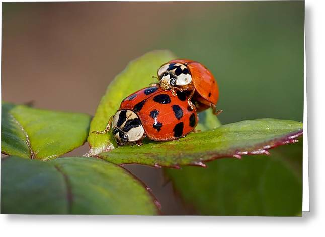 Red Leaves Greeting Cards - Ladybird Coupling Greeting Card by Rona Black