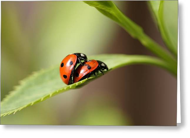 Mark Severn Greeting Cards - Ladybird Love Greeting Card by Mark Severn