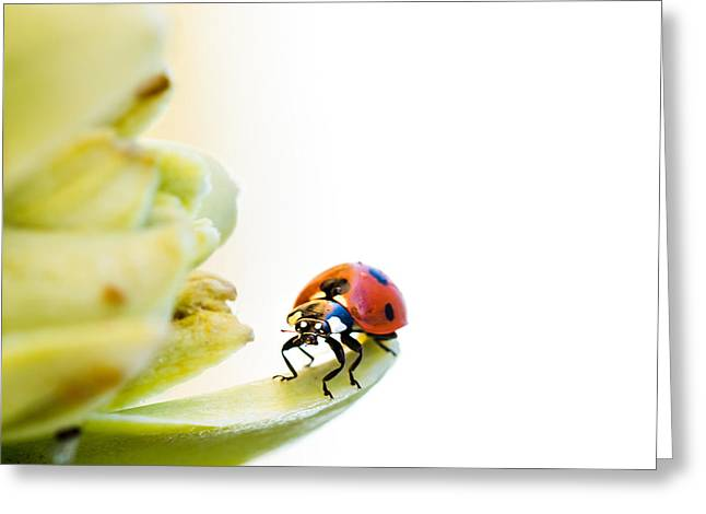 Zoology Greeting Cards - Ladybird on desert flower Greeting Card by Jane Rix