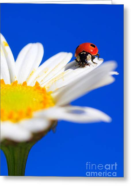 Ladybird On Flower Greeting Card by Patrick Frischknecht