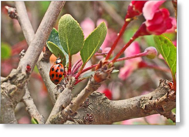 Rosaceae Greeting Cards - Ladybug and Crabapple Greeting Card by Rona Black